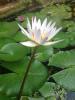 s-花。白い蓮